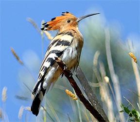 Huppe fasci e for Oiseau a long bec